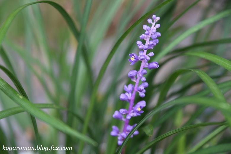 我が家の紫色の小花2