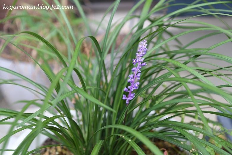 我が家の紫色の小花