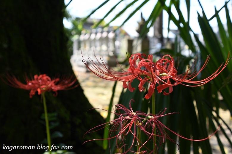 永井寺の彼岸花