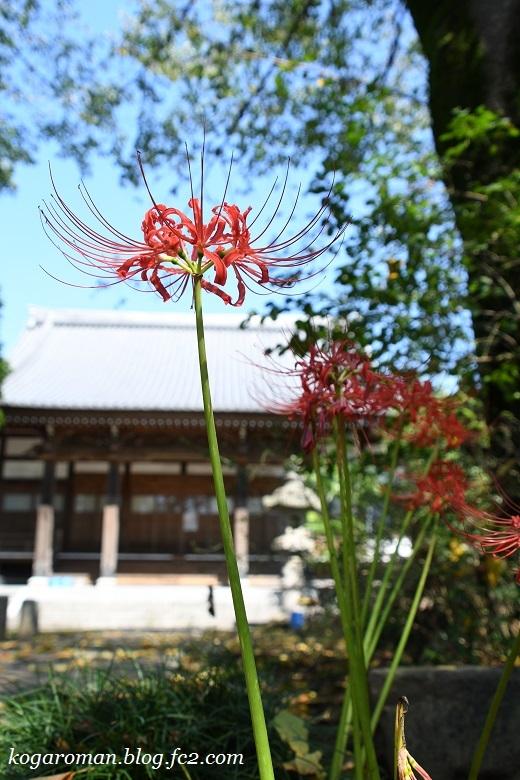 永井寺の彼岸花2