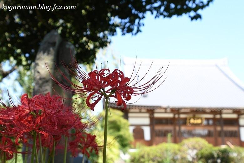 満福寺の彼岸花