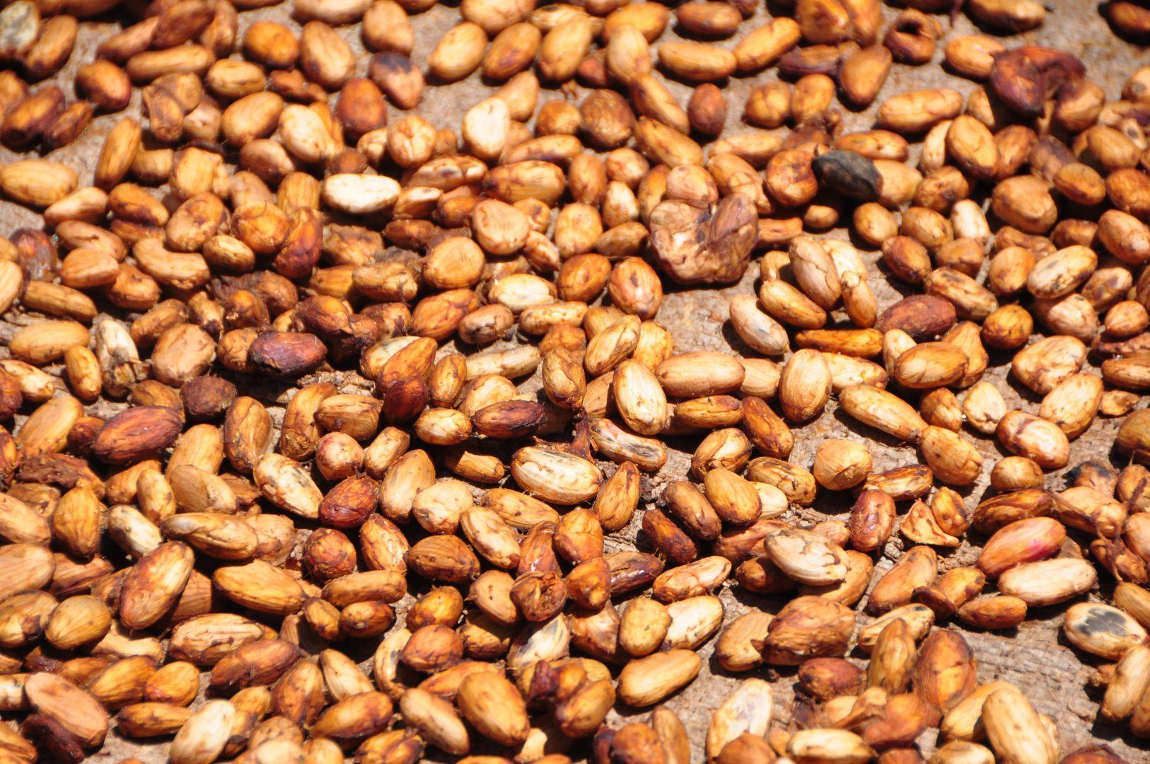 cacao seco