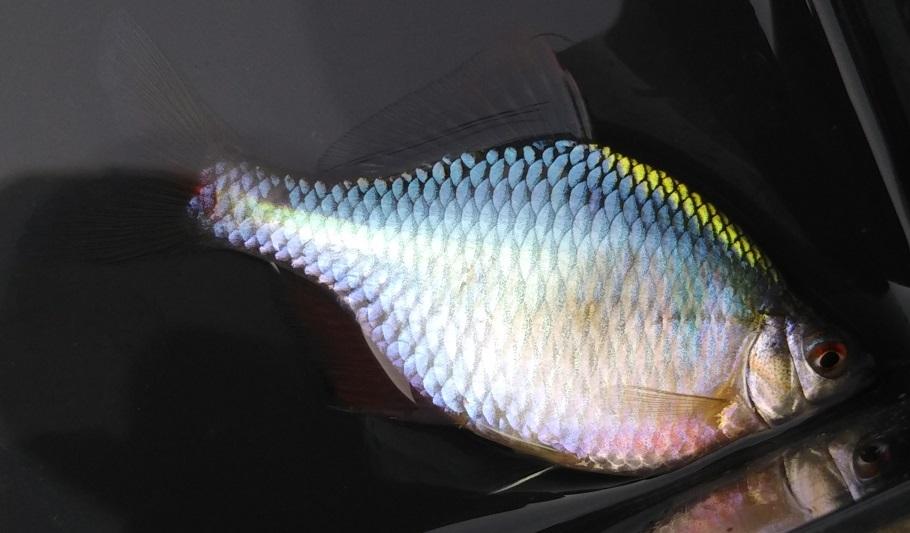 タイリクバラタナゴ♂2