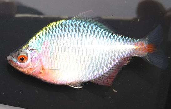 タイリクバラタナゴ♂