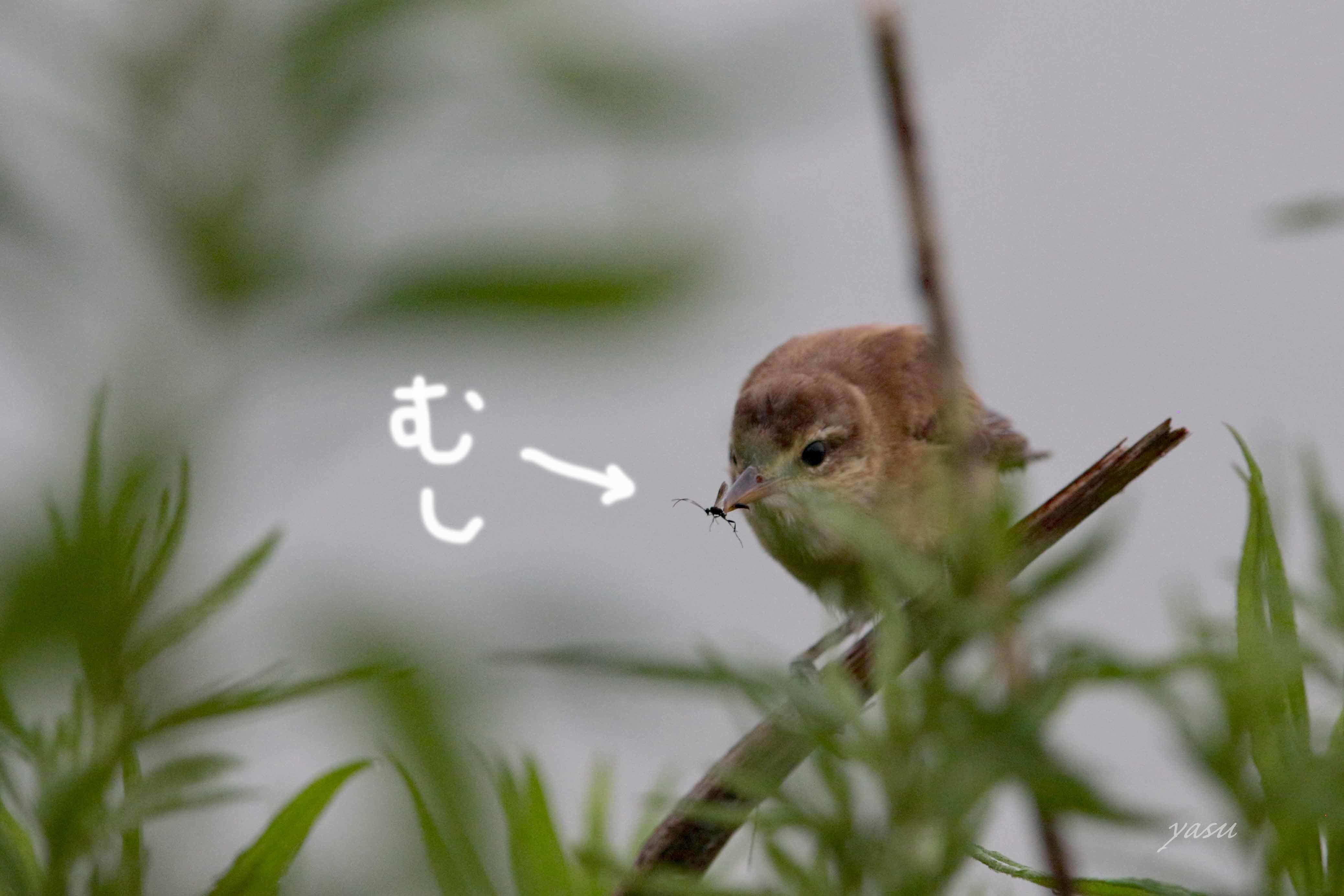 おおよしきり幼鳥y995A0134