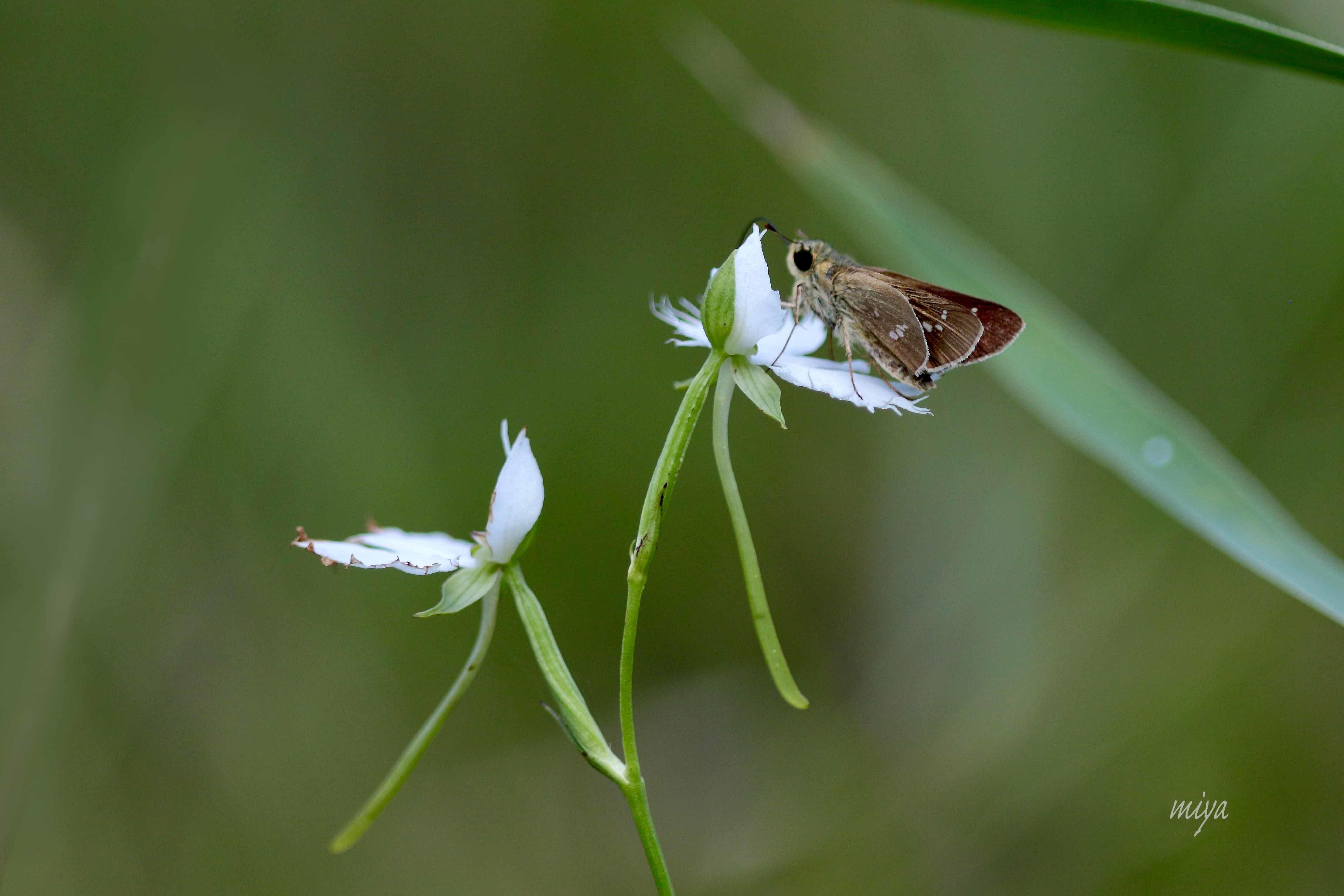 さぎそう蝶m995A2237