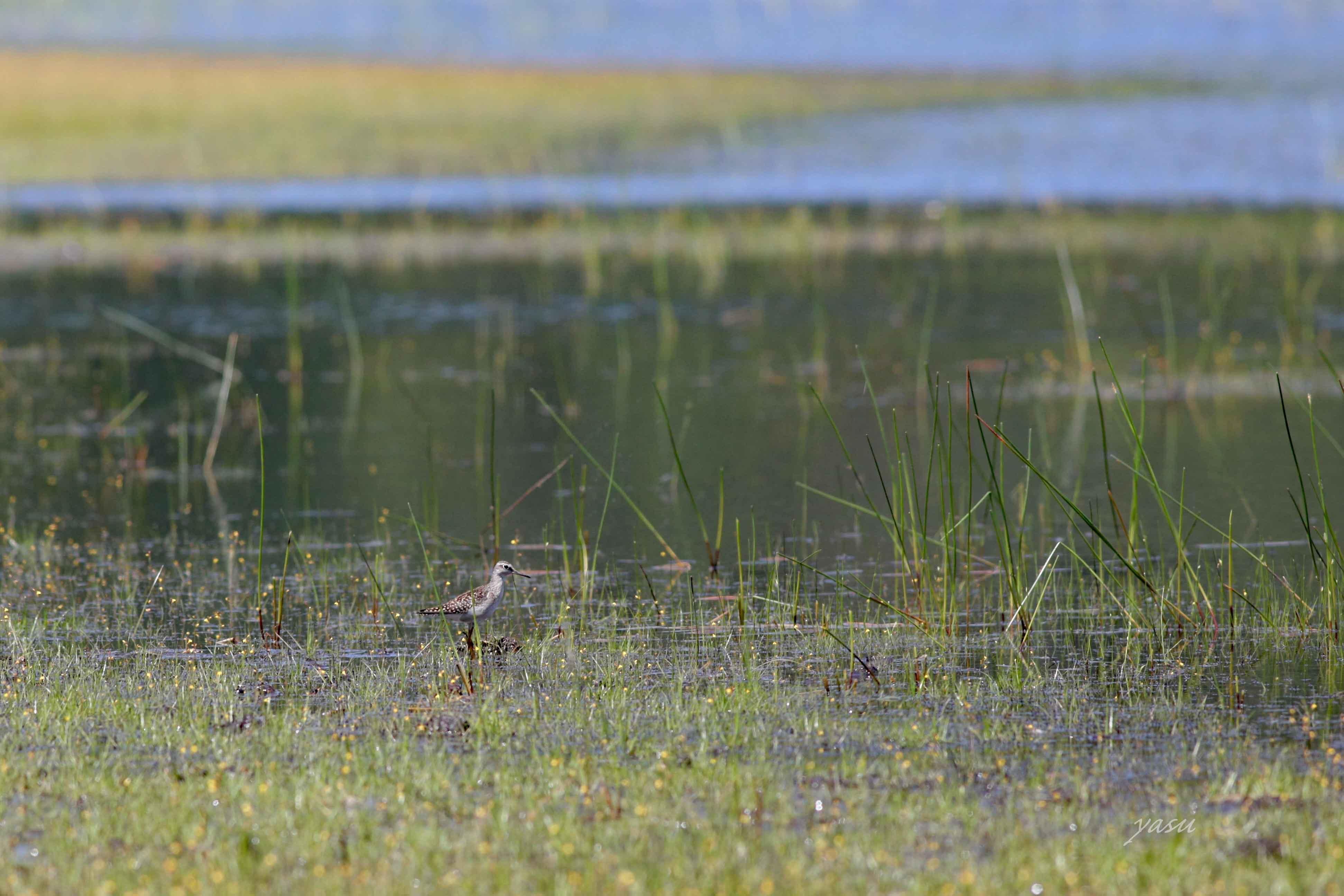 湿地しぎy032A5277