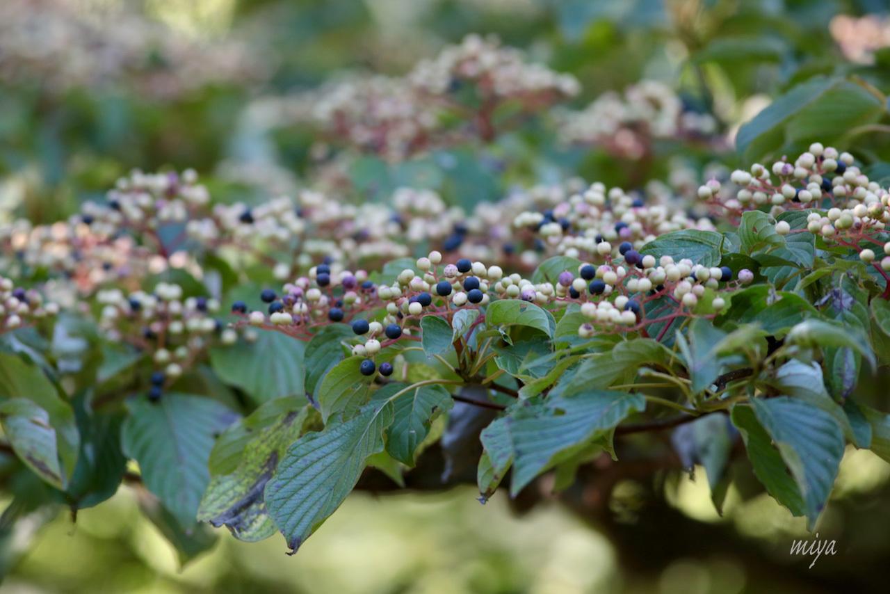 水木の実m032A5664