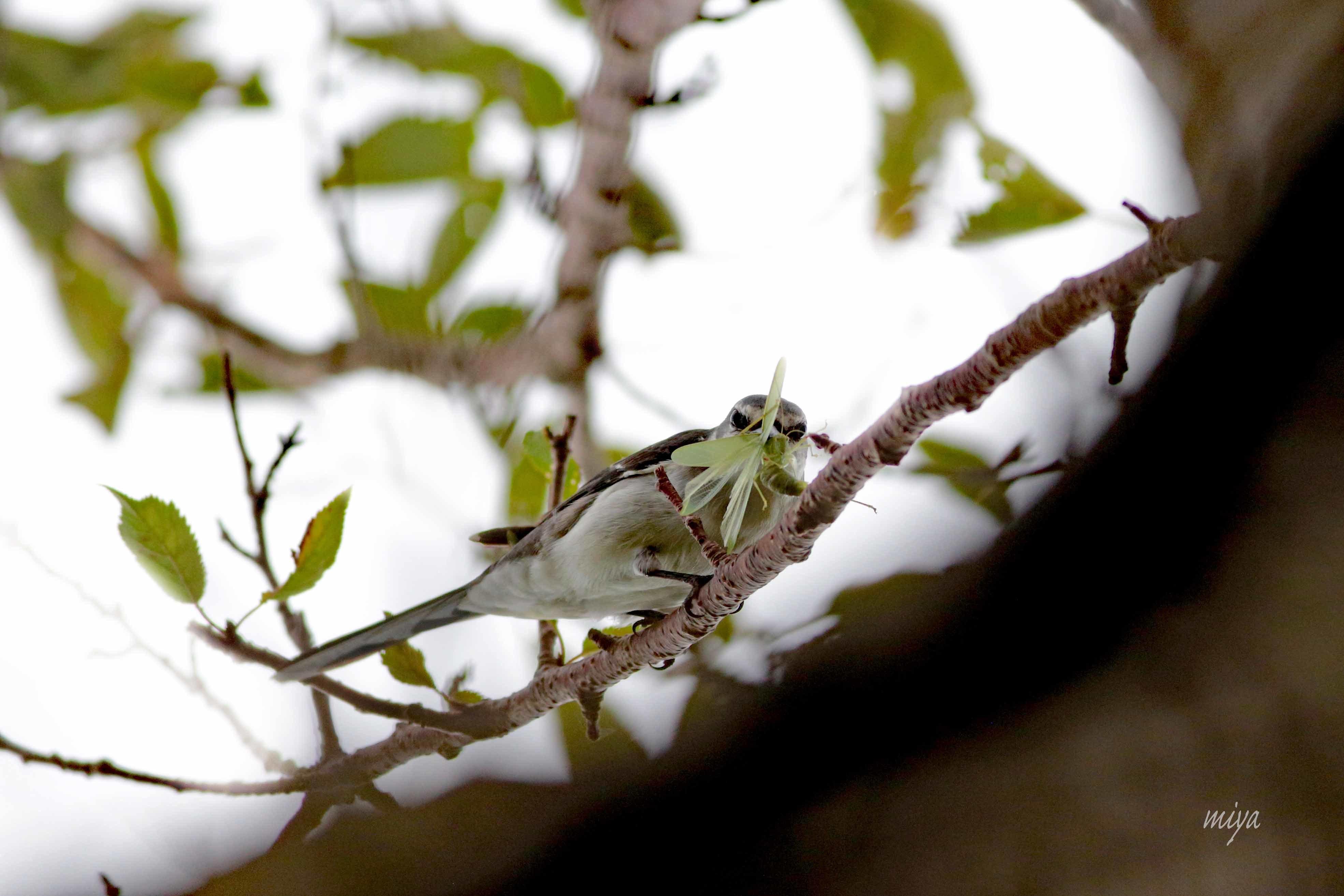 サンショウクイ虫m032A6258