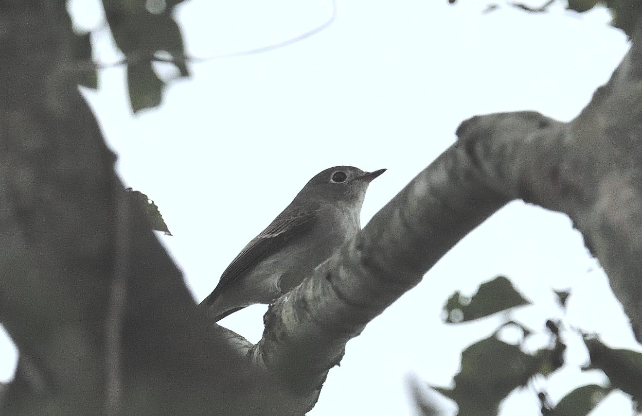 コサメビタキ