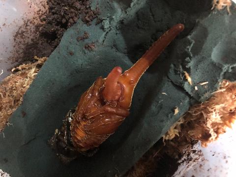 オキシデンタリス蛹