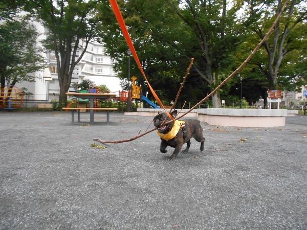 180828お散歩武蔵の幼馴染のヨーキーマックスくん9歳枝遊びトイプーネルちゃん3歳08