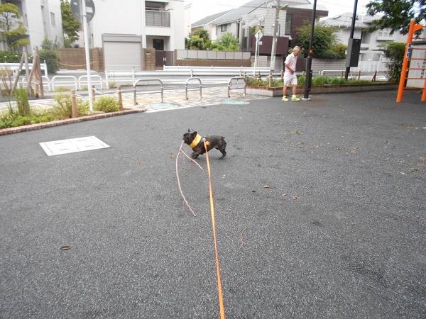 180828お散歩武蔵の幼馴染のヨーキーマックスくん9歳枝遊びトイプーネルちゃん3歳07