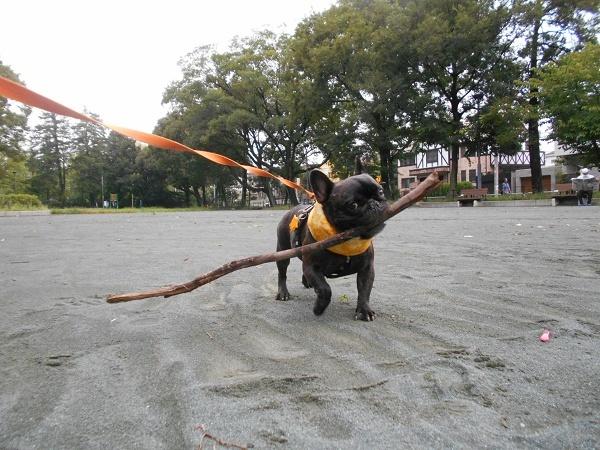 180828お散歩武蔵の幼馴染のヨーキーマックスくん9歳枝遊びトイプーネルちゃん3歳11