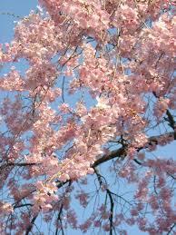 4月会報しだれ桜1