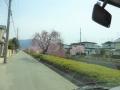 倉津川のしだれ桜は5~8分咲き