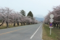 神町駐屯地の桜並木