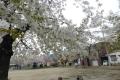 天童市内の公園は葉桜手前…