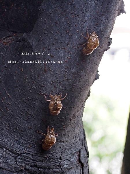 蝉の抜け殻2