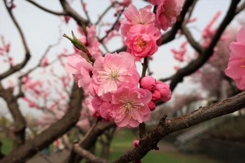 2018桜 (1)_R
