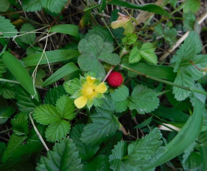 野イチゴの花3007