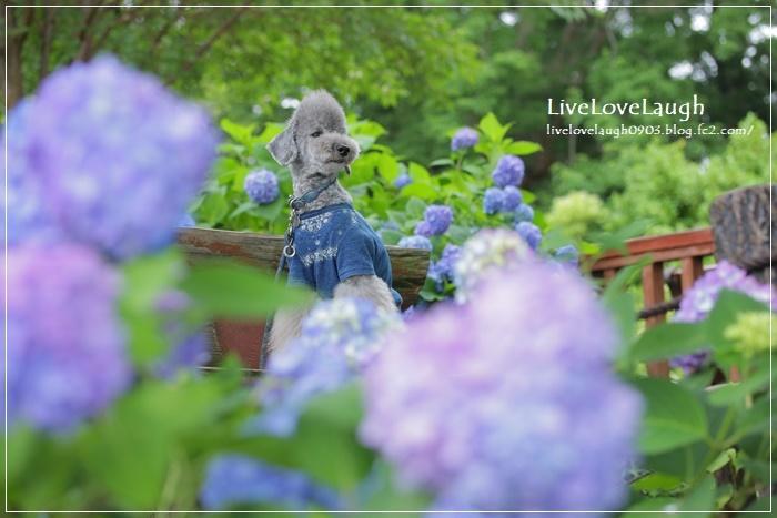 IMG_1023紫陽花