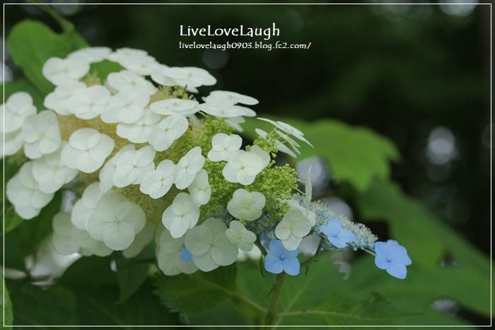 IMG_1072紫陽花