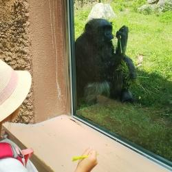 のいち チンパンジー