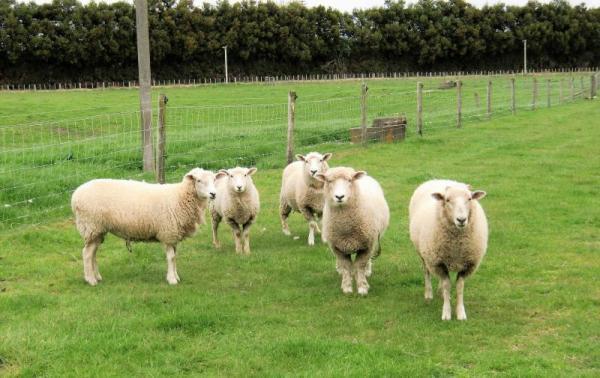Sheep_at_N_convert_20180502064938_convert_20180513183802.jpg