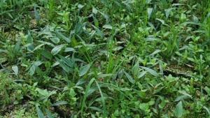 180726田のコナギや草