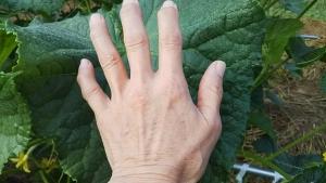 180727キュウリの葉と大きさ比べ