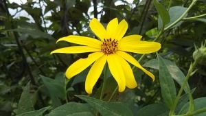 180910キクイモの花