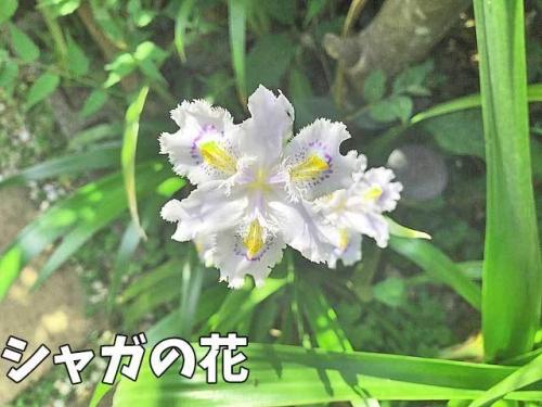 シャガの花が