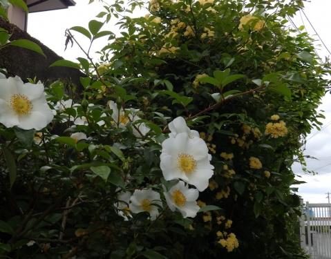 ないわいバラとモッコウバラ