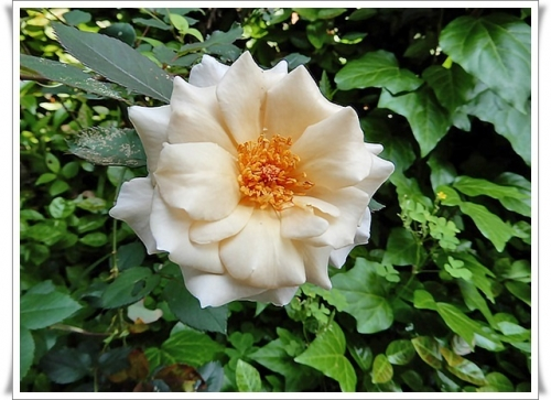 満開のバラ2