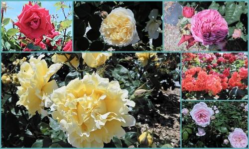 サンポートのバラたち