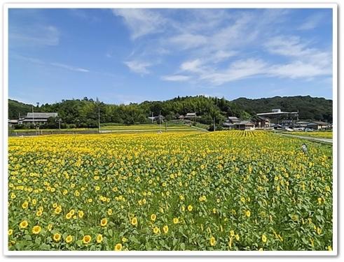 帆山の向日葵さん