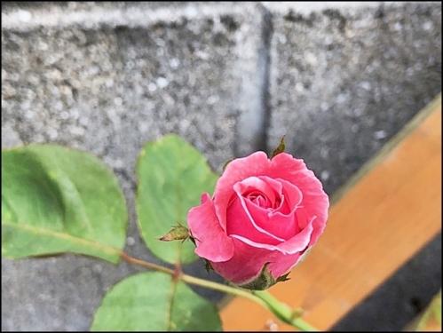 可愛いバラ