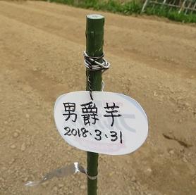 ジャガイモ定植・4