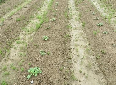 ジャガイモの芽・4