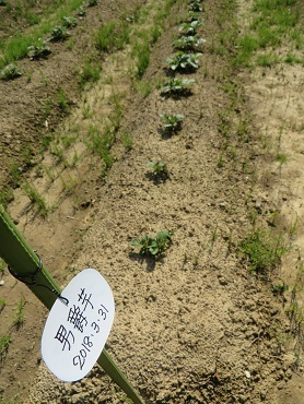 ジャガイモの芽・7