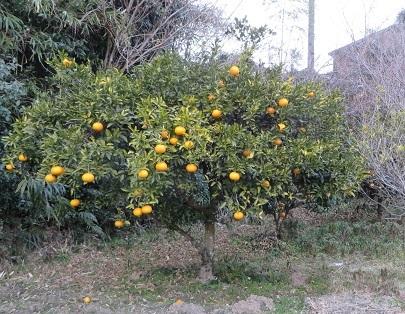 柑橘系・1