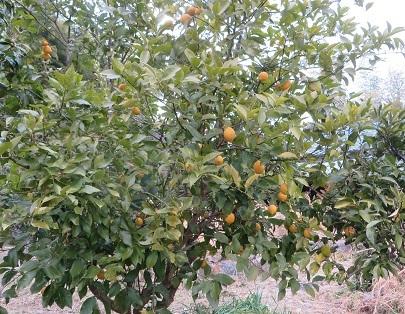 柑橘系・2