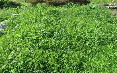 畑と雑草・1
