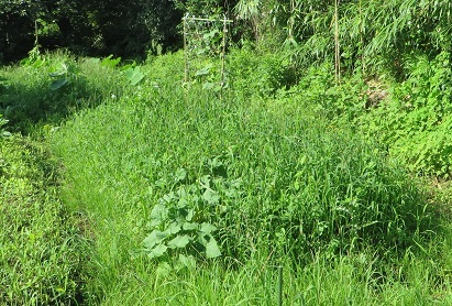 畑と雑草・2
