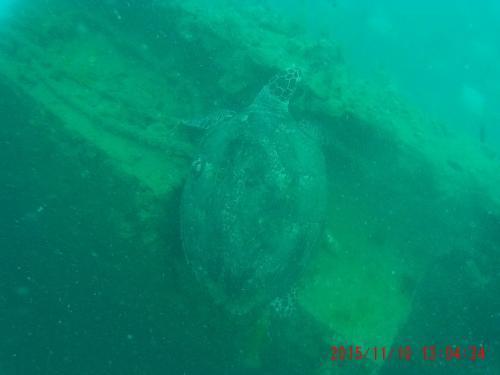 カームレック ウミガメ