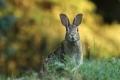 山ウサギ(サントッキ)