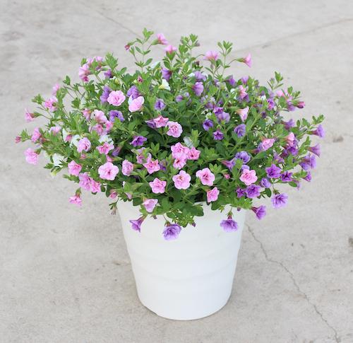 カリブラコア 八重咲き3色ミックス 鉢花1