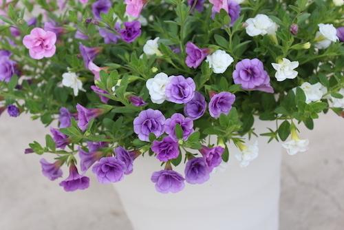 カリブラコア 八重咲き3色ミックス 鉢花2