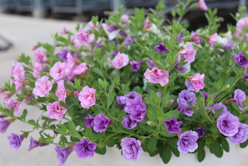 カリブラコア 八重咲き3色ミックス 鉢花3